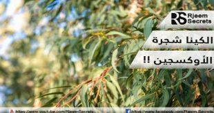 فوائد الكينا : الكينا شجرة الأوكسجين وفوائد صحية عديدة